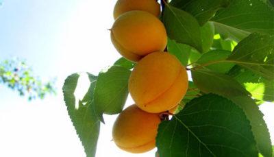 Albaricoque, una fruta excepcional