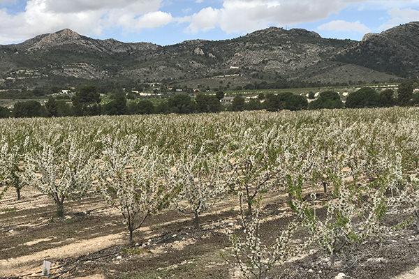 Productores de Cerezas y Albaricoques