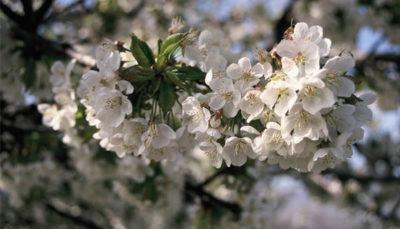 Como cultivar un cerezo en tu jardín
