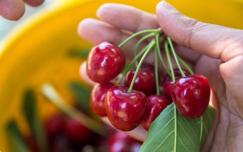 Recolección manual de nuestras cerezas