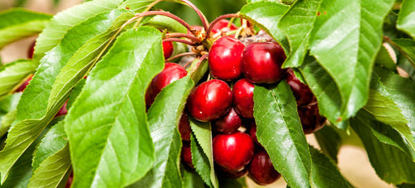 Primera cosecha de cereza de la Torre Stone Fruits