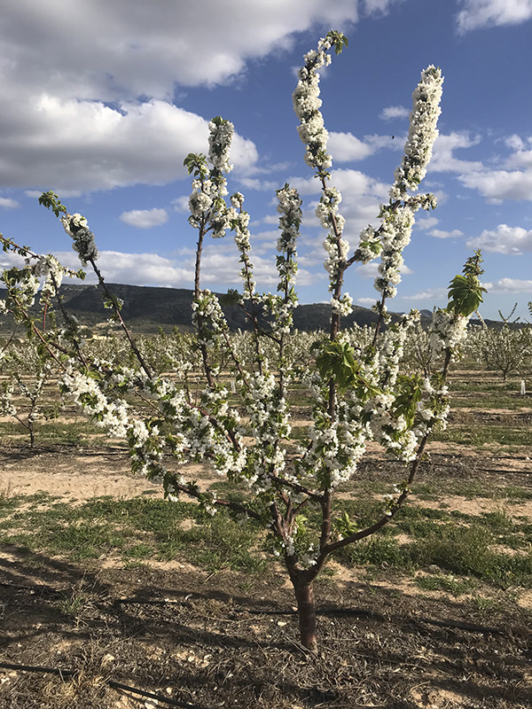 Cerezo en flor - La Torre Stone Fruit