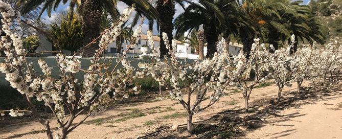 Cerezos en flor entre palmeras