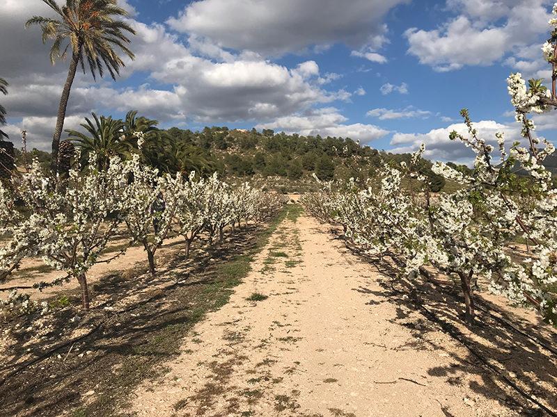 Plantación de cerezos en Sax