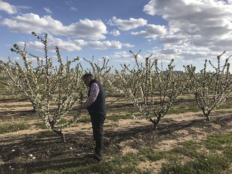 Labores en cerezos en flor